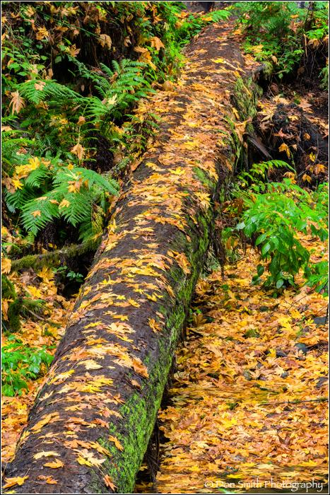 Maple Leaves on Fallen Redwood
