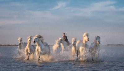 White Horses- of the Camargue