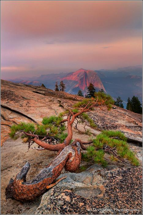 Jeffry Pine and Half Dome