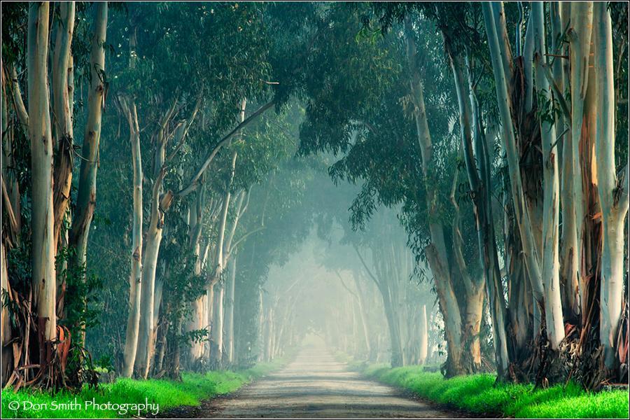 Eucalyptus Trees and Fog