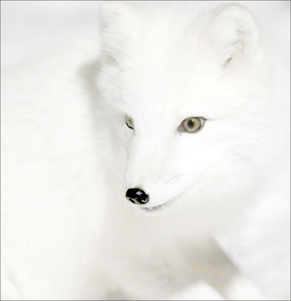 Arctic Fox 0229HK