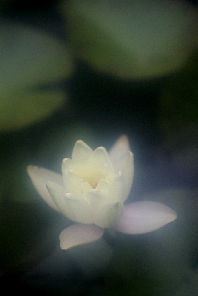 Water Lilly 8732