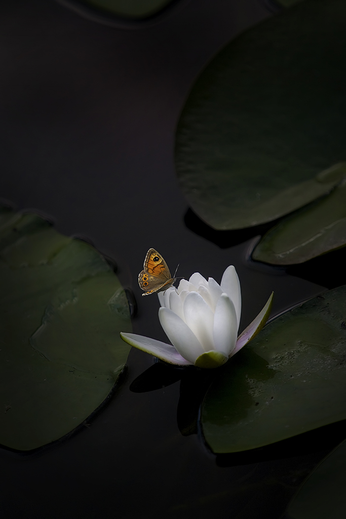 Water Lily and Butterfly 2609M2